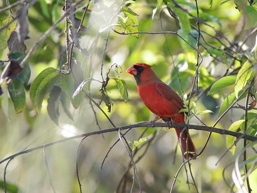 Northern Cardinal 20190202