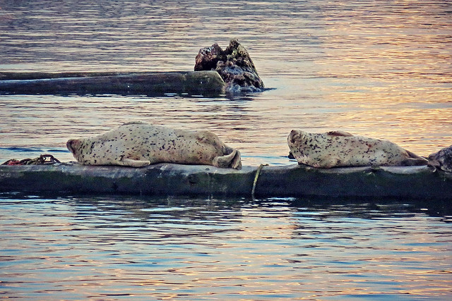 Sweetly snoozing seals at Harbourside