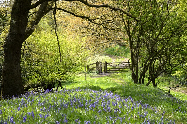 Bluebells in Poles Coppice