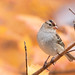 Bruant à couronne blanche // White-crowned Sparrow by Keztik