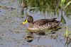 Yellow-billed Duck (Anas undulata) by Ardeola