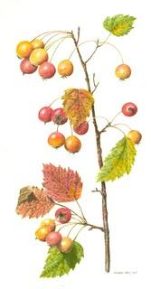 Sorbus Torminalis (sorbo ciavardello)