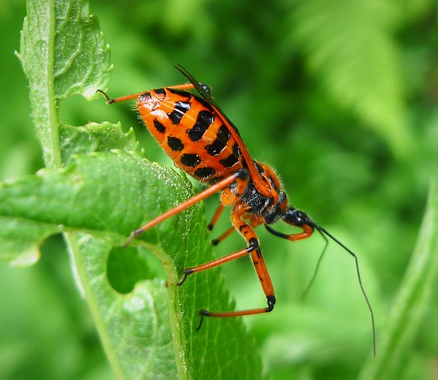 Assassin Bug Rhynocoris iracundus. Reduvidae