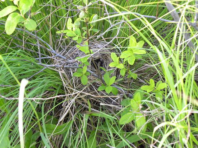 Dusky Warbler, Phylloscopus fuscatus, Бурая пеночка