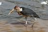 Leptoptilos crumenifer (Marabou Stork) - Entebbe Uganda by Nick Dean1