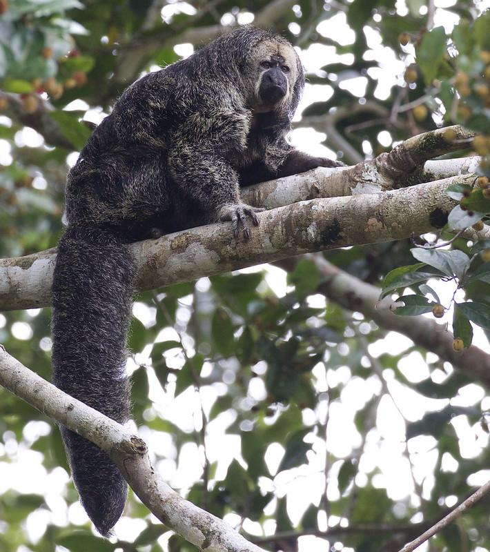 Monk Saki Monkey, Pithecia monachus Ascanio_Peruvian Amazon 199A6141