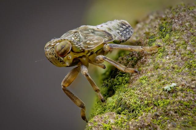 Larve der Echten Käferzikade (Issus cf. coleoptratus) Größe ca. 3 mm