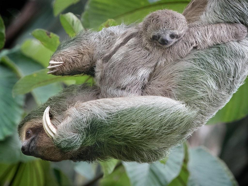 Mom and Baby Three Toed Sloth