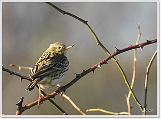 Meadow Pipit. (Anthus pratensis) | by pete Thanks for 5 Million Views