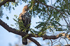 Changeable hawk-eagle or crested hawk-eagle (Nisaetus cirrhatus) , Tadoba National Park, India by Free pictures for conservation