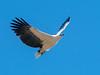 White-bellied Sea-eagle (Haliaeetus leucogaster) by David Cook Wildlife Photography
