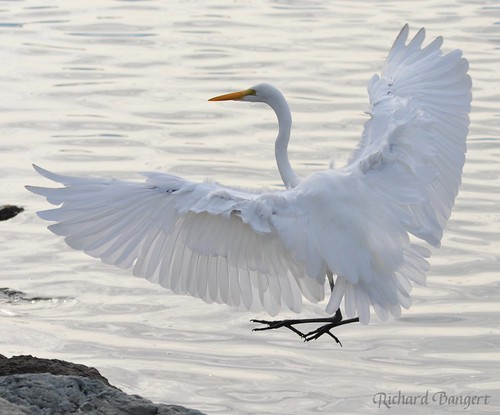 Great Egret | by Alameda Point Enviro