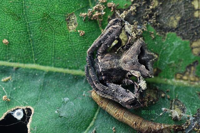 2018-12-30 ZS retouched 15P 鑽腹蟹蛛Angaeus rhombifer