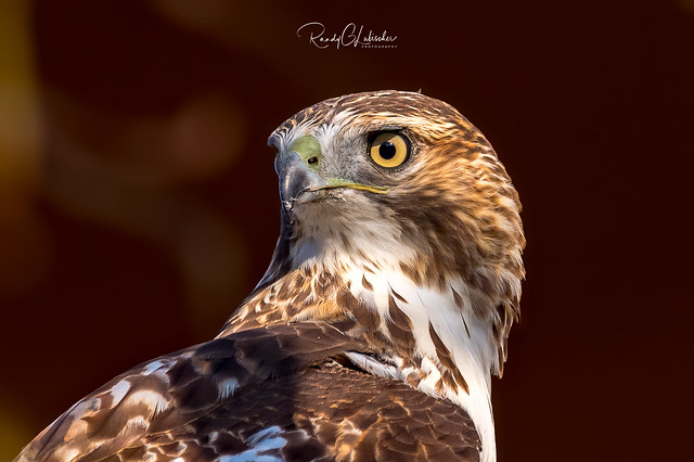 Red-tailed Hawk - Buteo jamaicensis | 2018 - 24