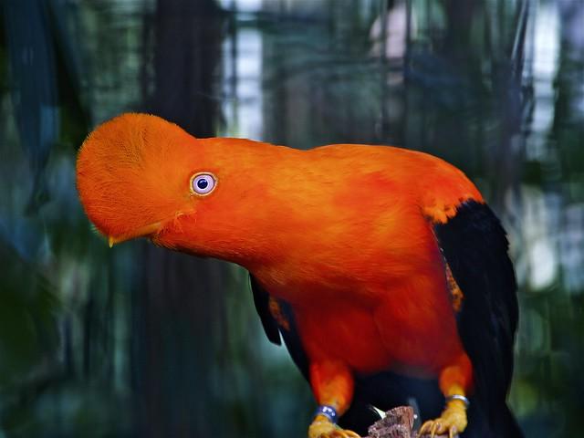 Peru Bird Of Paradise: Mr & Mrs