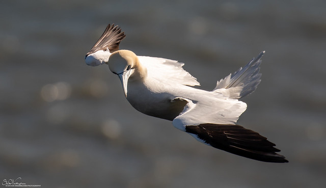 Gannet hovering in a strong wind