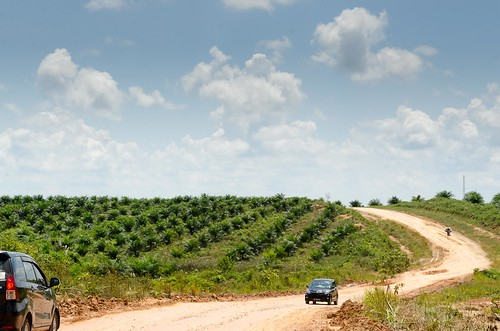Kalimantan  Palm oil PlantationDSC_0568
