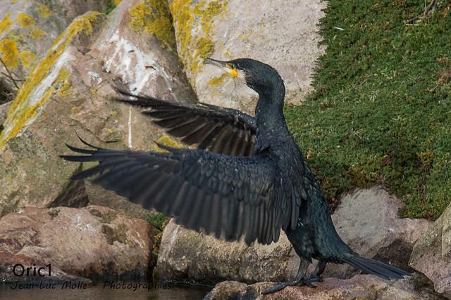 Grand cormoran - Explored