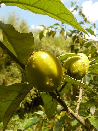 mount kenya solanaceae fruit soda apple sodom sodaaple bitter nightshade goat poison mutura osigawai sikawa