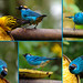 Golden Tanager (Tangara arthus) and Golden-naped Tanager (Tangara ruficervix).   Mindo Cloud Forest Reserve in Milpe, north-western Ecuador. by cbrozek21