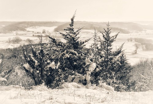 iphoneography iphoneology iphoneographer iphonology white snowcovered snowy snowing snow winter cold view loesshills pinetree pine tree midwest crescent mtcrescent iowa