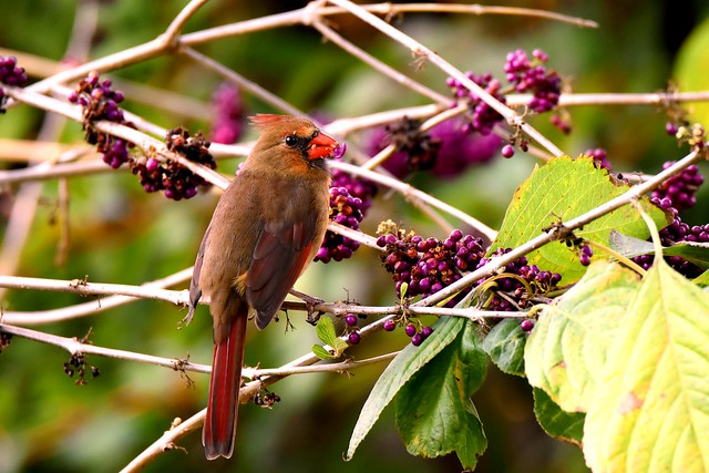Northern Cardinal eating beautyberriesDSC_3747