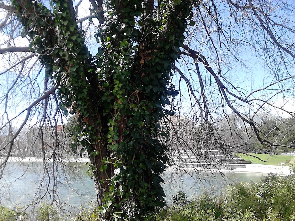 Ivy Covered Tree Parque Enrique Tierno Galvan 1986 Madr Flickr