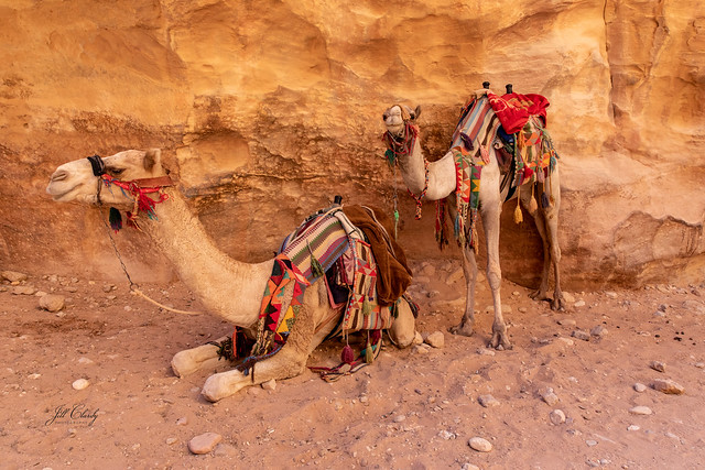 Smiling Camels in Petra