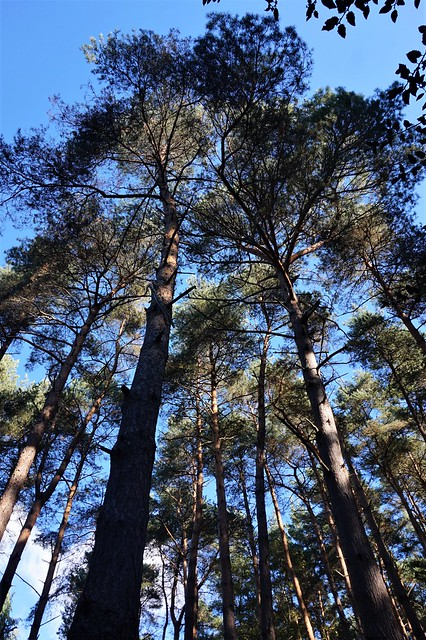 Pine trees by the South Downs Way 1