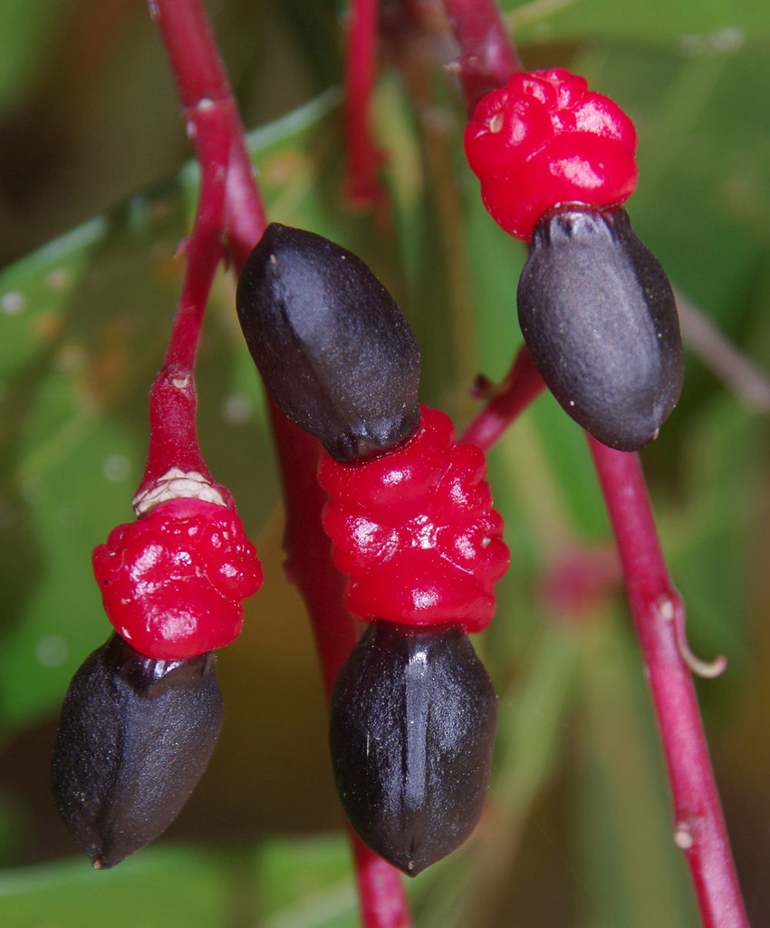 Quassia amara, Flecker Botanic Garden, Cairns, QLD, 29/10/18