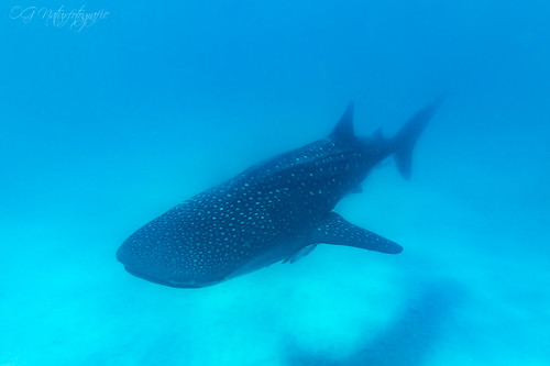 What a gentle giant...whaleshark from Mafia Island | by Oliver Geiseler
