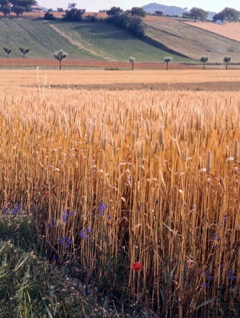 Grano maturo nella campagna umbra (estate 1976)