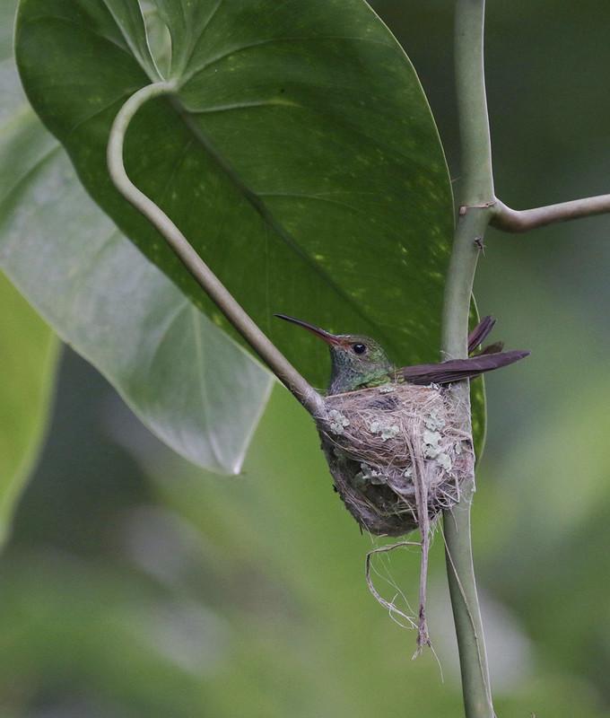 Rufous-tailed Hummingbird, Amazilia tzacatl Ascanio_PAnama 199A7542