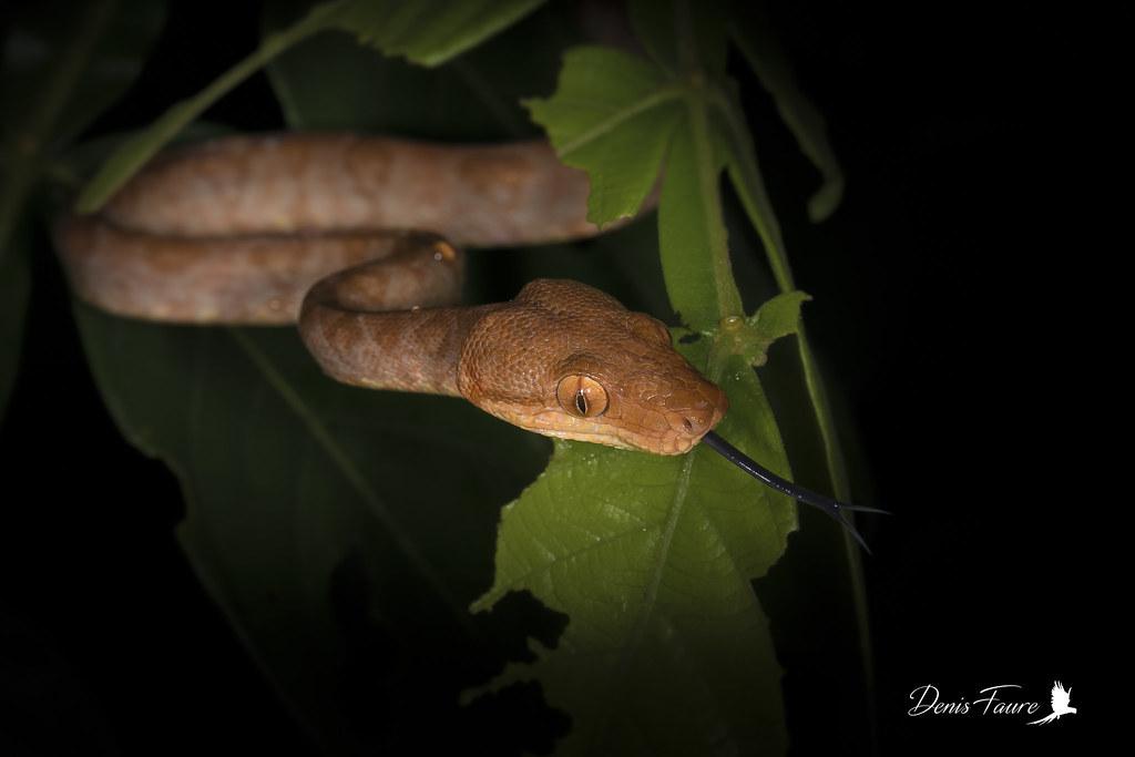 Boa d'Amazonie -Corallus hortulanus