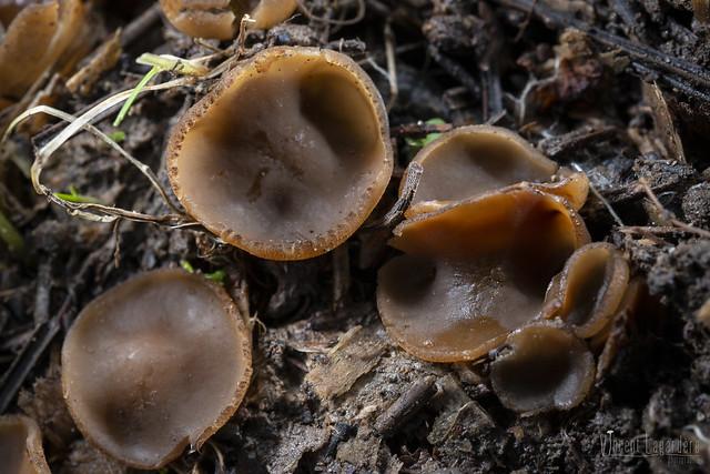 Peziza sp. - Pézize brune au sol (proche bouleau)