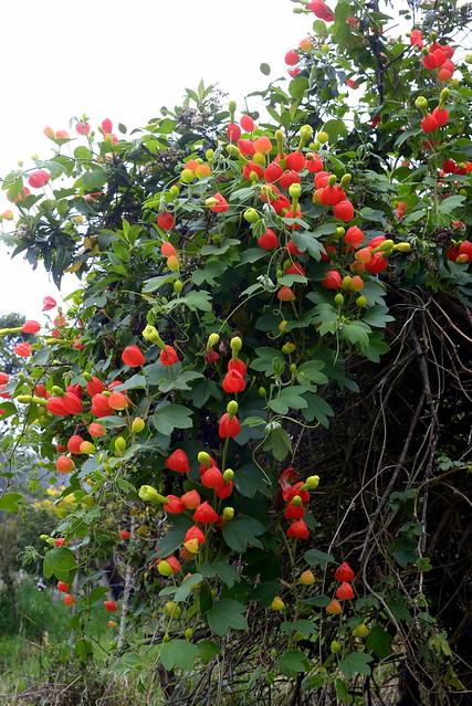 Passiflora ampullacea, Cuenca to Gualaceo, Ecuador