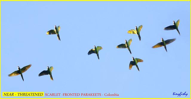 (Species #1953) Near Threatened SCARLET-FRONTED PARAKEET - [ El Dorado Reserve, Colombia ]