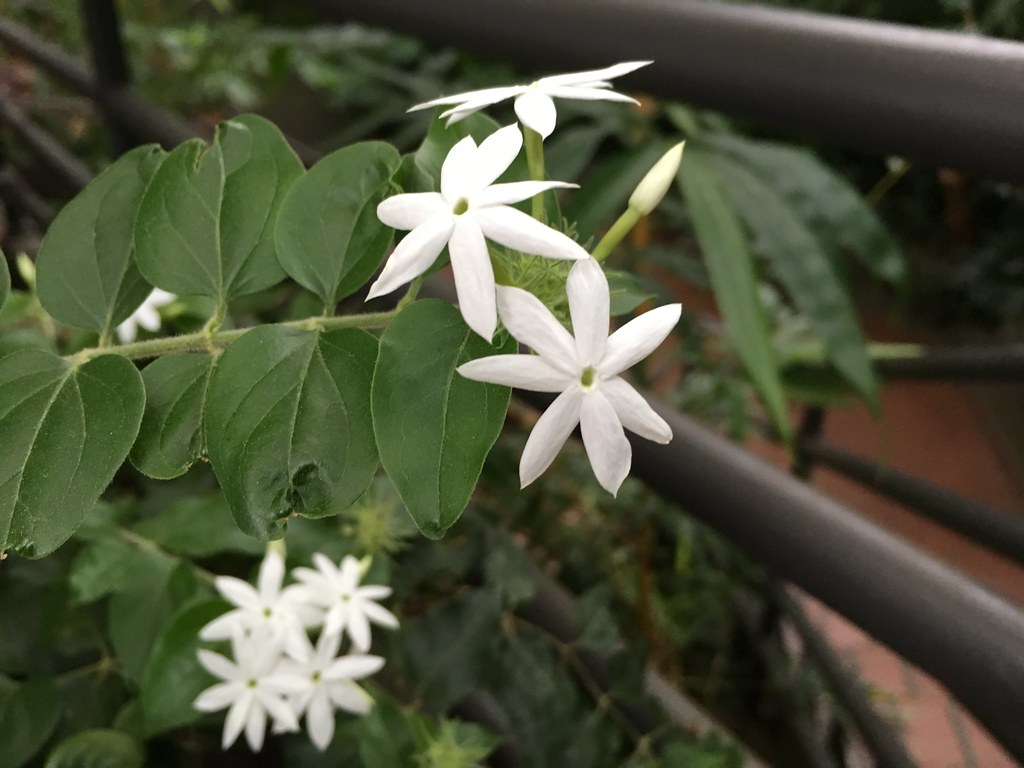 Citrus Blossoms, Jasmine, and More Fragrant Flowers in the