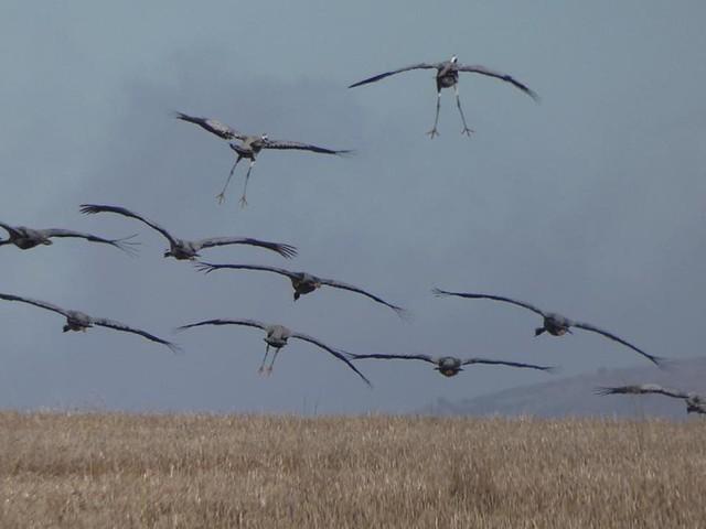 Grullas en la laguna de Gallocanta (Aragón)
