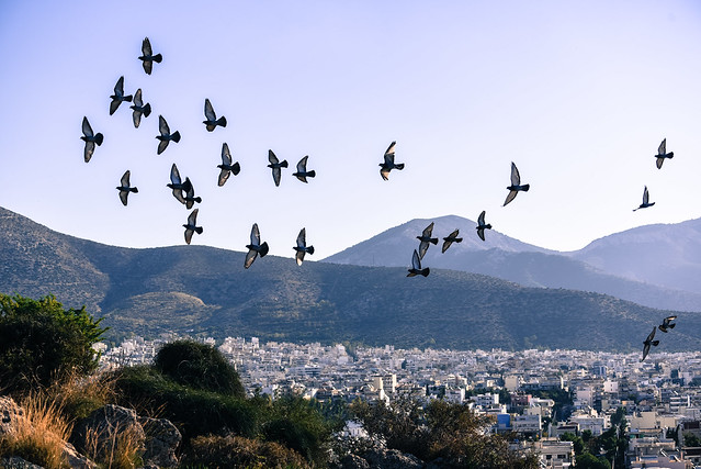 pigeons on flight