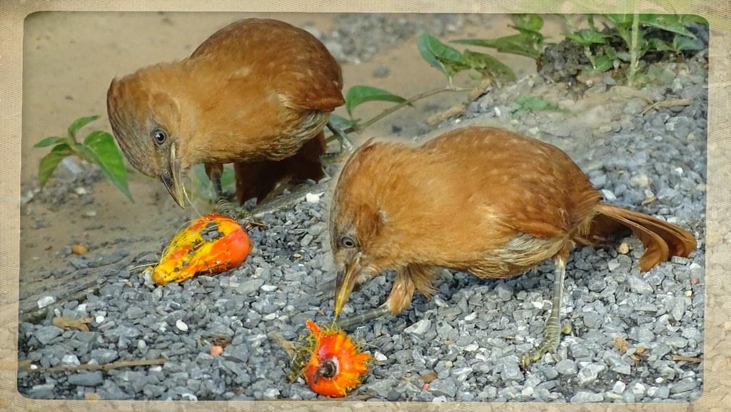 Casaca-de-couro - Caatinga Cacholote