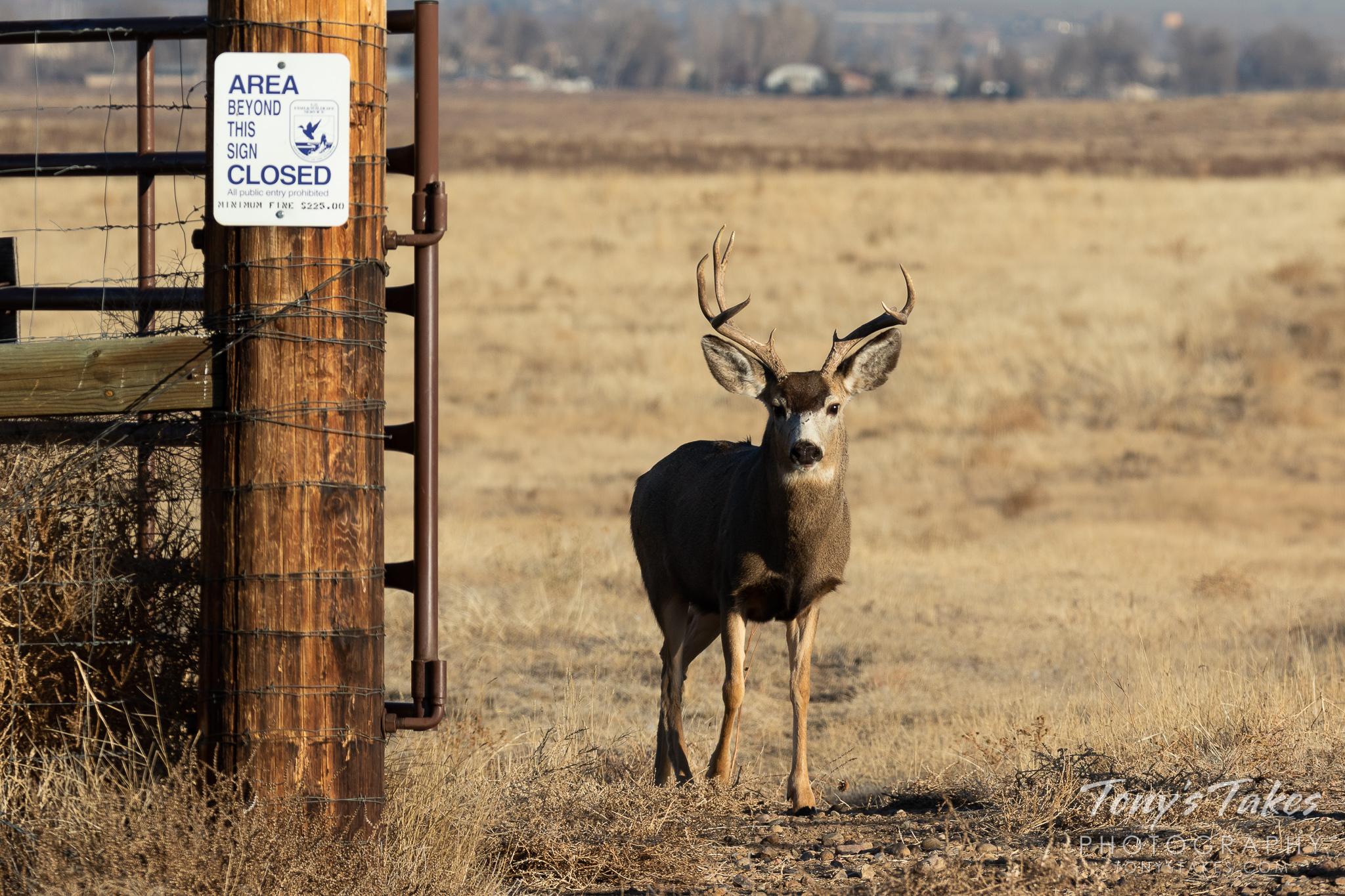 Mule Deer buck plays gatekeeper