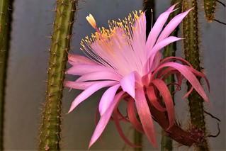 Aporocactus - Cactus colgante, Flor del cuerno, Flor del látigo, Yerba de la alferecia  y Cola de rata.