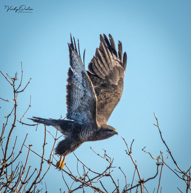 Buzzard taking flight. (Explored 28/12/18)