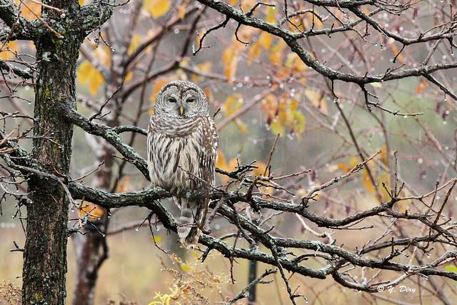 Chouette rayée / Barred Owl / Strix varia