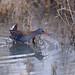 Râle d'eau-Rallus aquaticus - Water Rail 6201_DxO.jpg