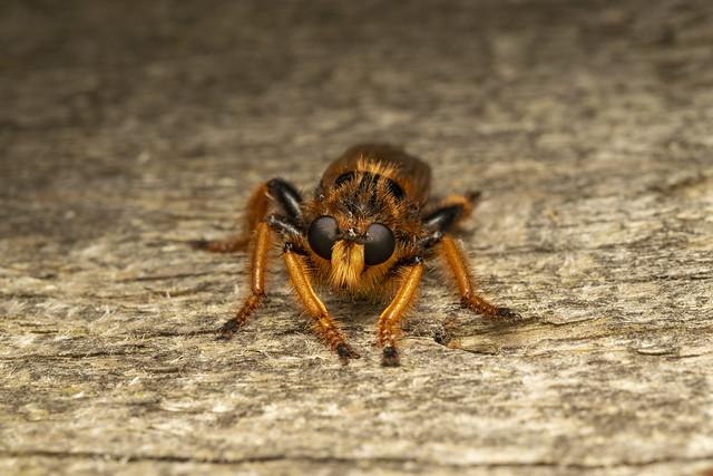 Giant robber fly (lat. Pogonosoma maroccanum) 4