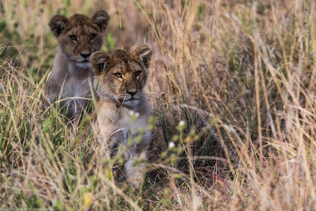 Leoaica cu pui_septembrie18_Serengeti_13