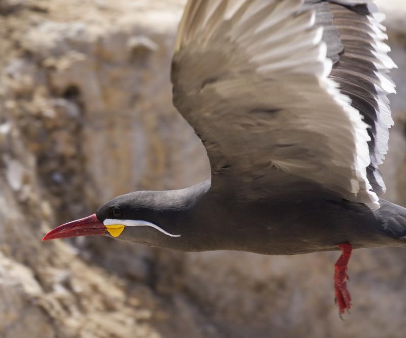 Inca Tern, Larosterna inca Ascanio_Peru 199A5553