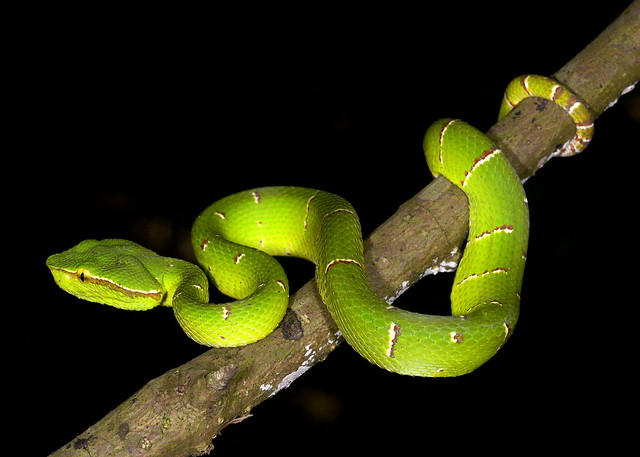 male Wagler's Temple Viper (Tropidolaemus wagleri), Tangkoko National Park, Sulawesi